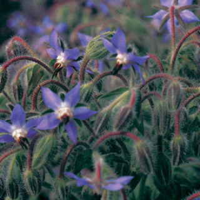 Borage Seeds