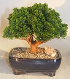 Hinoki Cypress Bonsai Tree