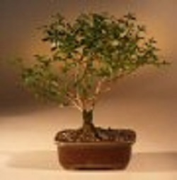 Flowering Winter Jasmine Bonsai Tree