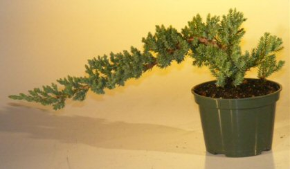 Pre Bonsai Juniper Bonsai Tree