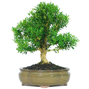Harland Boxwood Bonsai