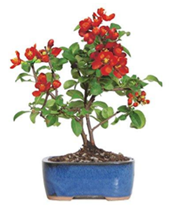 Japanese Flowering Quince Bonsai