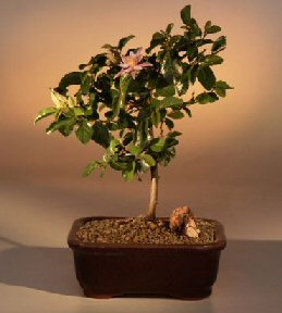 Lavender Star Flower Bonsai Tree