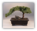 "Juniper Tree - Medium, Juniper Procumbens ""nana"""