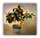 "Citrus Tree - (""Calamondin"" Orange)"
