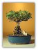 Mount Fuji Serissa Mini Bonsai Tree,  (serissa foetida)