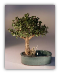 Baby Jade Bonsai Tree
