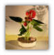 Flowering Red Anthurium