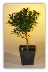 Pre Bonsai Flowering Brush Cherry Bonsai Tree - Small
