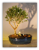 Flowering Mount Fuji Bonsai Tree