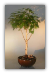 Weeping White Birch Bonsai Tree