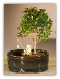 Flowering Brush Cherry Bonsai Tree