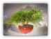 Green Thread Cypress Bonsai Tree