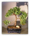 Juniper Bonsai Trees