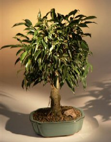 oriental ficus bonsai tree aged. Black Bedroom Furniture Sets. Home Design Ideas