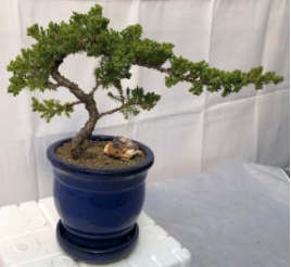 Juniper Bonsai Tree - Trained