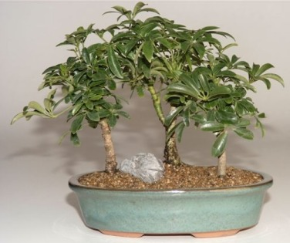 Hawaiian Umbrella Tree - Forest Group (Arboricola Schefflera)