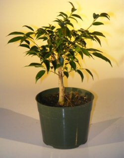 Pre Bonsai Ficus Midnight Bonsai Tree - Large