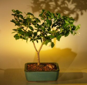 Flowering Jasmine Bonsai Tree