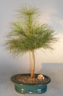 Eastern White Pine Bonsai Tree