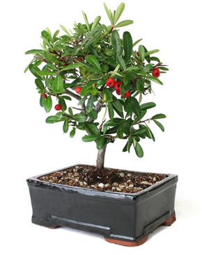 Pyracantha 'Firethorn' Bonsai