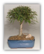 Willow Leaf Ficus