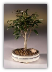 Ficus Midnight Bonsai