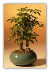 Hawaiian Umbrella Bonsai Tree - Small