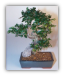 Chinese Elm Bonsai Tree - Curved Trunk
