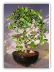 Flowering Dwarf Weeping Barbados Cherry Bonsai Tree