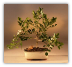 Dwarf Orange Jasmine Bonsai Tree