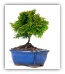 Hinoki Cypress Bonsai