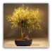 Golden Thread Cypress Bonsai Tree