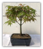Japanese Green Maple Bonsai Tree