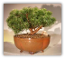 Mugo Pine Bonsai Tree