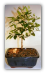 Flowering and Fruiting Arbequina Olive Bonsai Tree