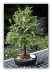 Dawn Redwood Tree